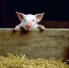 Les cours du porc ne décollent pas !