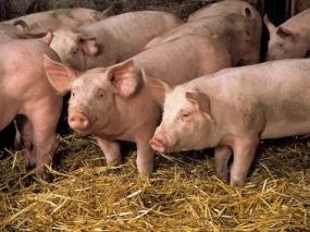 Les éleveurs de porcs manifestent à Paris.