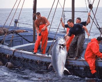 Vers l'extinction des thons ?