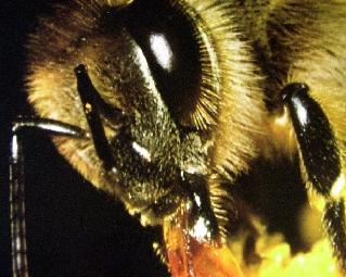 Les abeilles zombies font leur apparition !