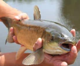 Les poissons d'eau douce bourrés de PCB !