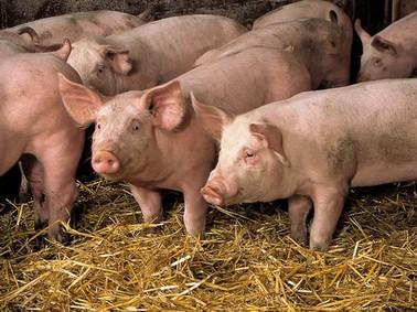 Ces cochons qu'on empoisonne.