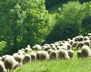 Pays Basque, ça chauffe chez les producteurs de lait de brebis.