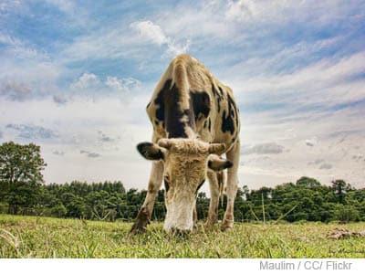Viande bovine, des baisses de production et de consommation pour 2012.