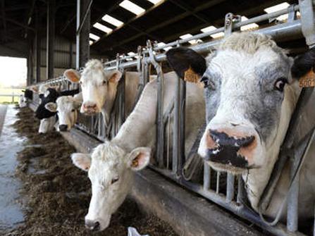 Les Etats-Unis parviendront-ils à empêcher la propagation de la vache folle ?