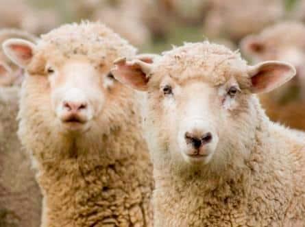 Le virus de Schmallenberg sévit dans plus de 1300 élevages français.