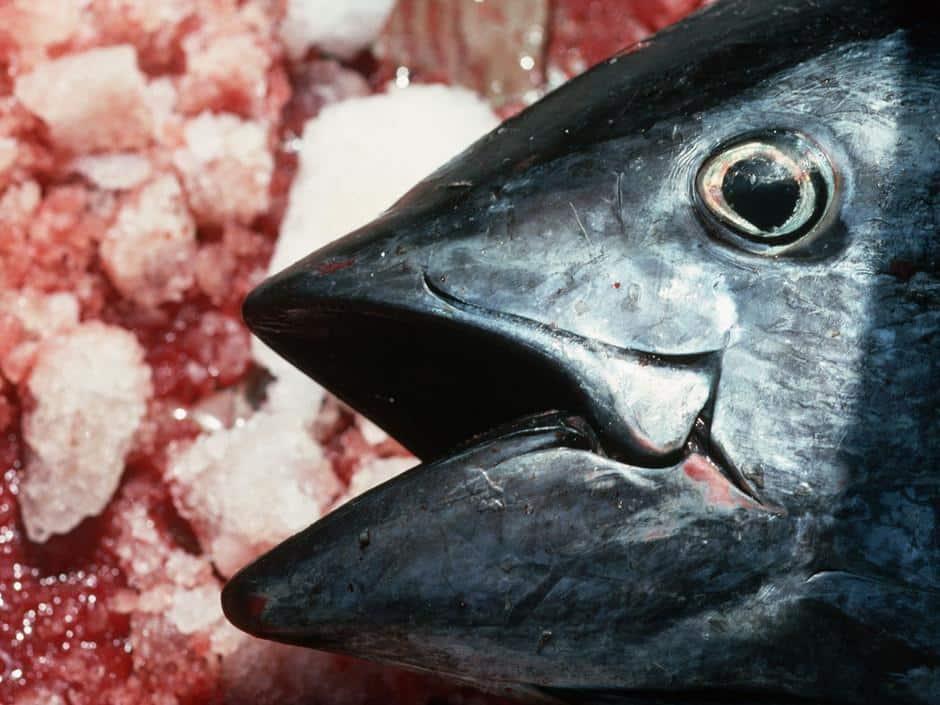 L'Europe agit pour préserver le thon rouge.
