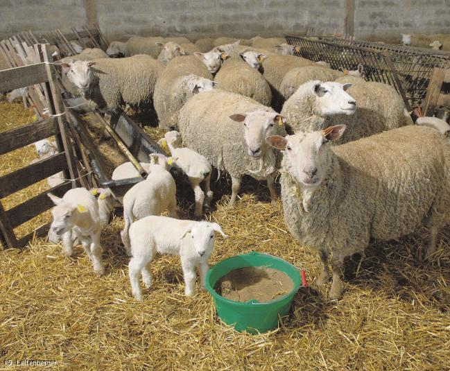 Virus de Schmallenberg : élevages en alerte rouge, mais pas de danger pour l'homme.