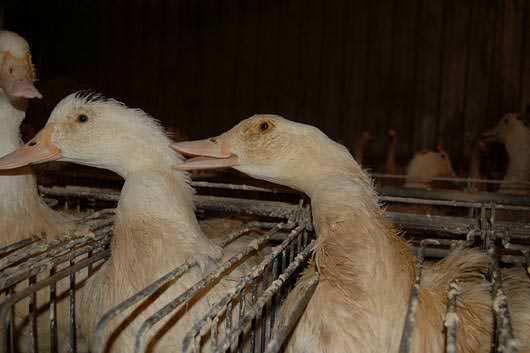 Fois gras: nouvelle plainte contre le leader mondial Euralis