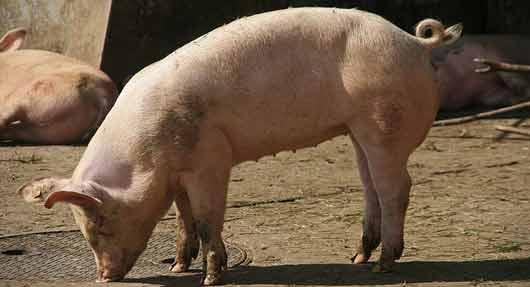 Marché du porc : l'embargo russe sur le porc affole la filière française à l'export