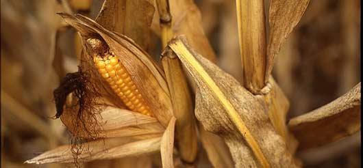 OGM : une proposition de loi contre le maïs Mon810