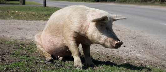 Salmonelles :soupçon de fraude chez le leader du porc français