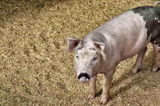 Filière porcine : Système U et Terrena prouvent que l'entente producteurs/distributeurs est possible