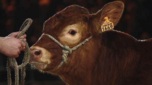 La filière bovine prépare un