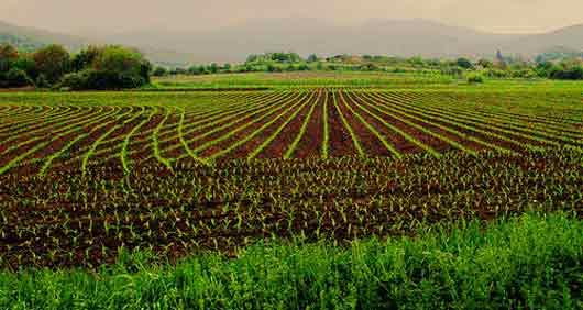 De plus en plus de traces d'OMG dans les aliments non-OGM