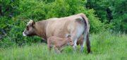 Viande bovine: La Chine peine à répondre à la demande en bœuf