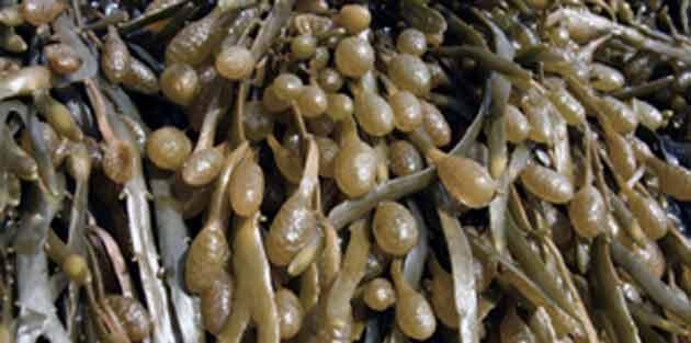 Algues brunes: un substitut au sel contre les graisses