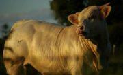 Filière bovine: les éleveurs manifestent contre la baisse des cours