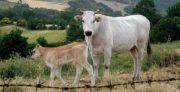 Filière bovine: miser sur les pays tiers