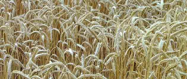 Champs de blé du sud