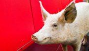 Cooperl lance un porc «sans antibiotique»