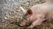 Filière porcine: la France suspend les importations en provenance des États-Unis