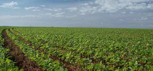 Soja: le retour du soja français