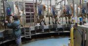 Production de lait: 5% sous le quota national
