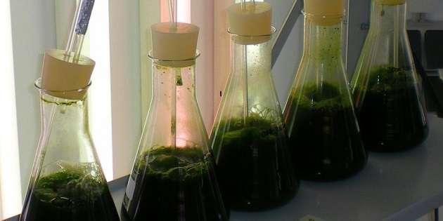 Farine d'algues: Roquette va produire 5 000 tonnes par an