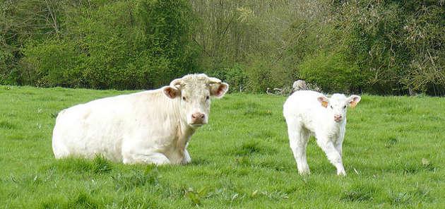 Le vrai coût de la production de bœuf