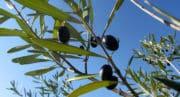 Huile d'olive: des risques de pénuries