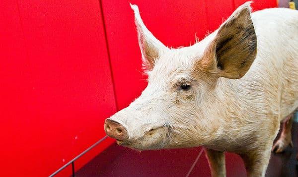 Porc: Les jeunes agriculteurs de Bretagne et la FRSEA disent «stop» à l'explosion des prix