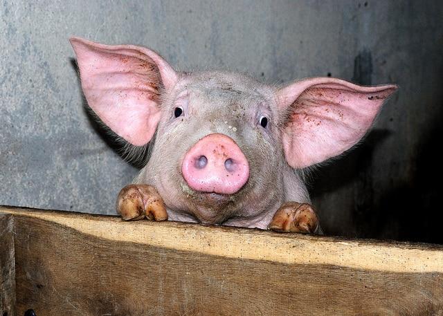 Porc: Aucun repreneur et une liquidation pour les abattoirs Gad