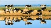Elevage: La ferme des 1000 vaches commence son exploitation sous tension