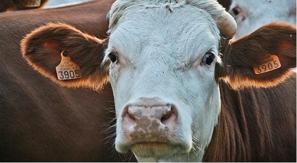 Vache folle: Stéphane Le Foll annonce la fin des dépistages