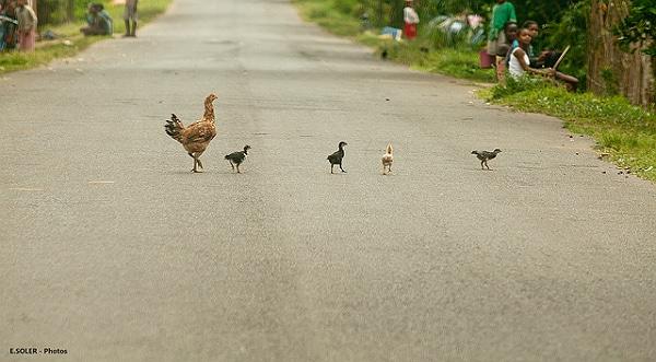 Grippe aviaire : L'interdiction de transport de volailles aux Pays-Bas n'a pas été respectée