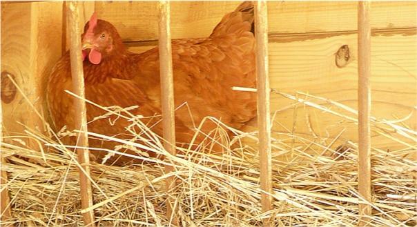 Volaille: des cas de grippe aviaire détectés en Grande-Bretagne et aux Pays-Bas
