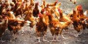 Volaille: 202 emplois sauvés dans les abattoirs bretons de Tilly-Sabco