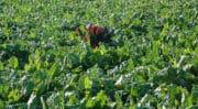 Agriculture: Stéphane Le Foll veut soutenir la filière betterave-sucre «leader européen»