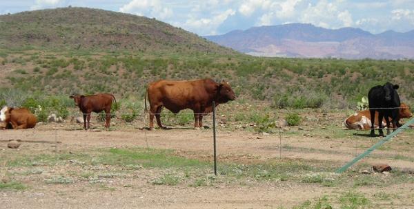 Viande clonée : L'Argentine, l'eldorado de la viande génétiquement modifiée