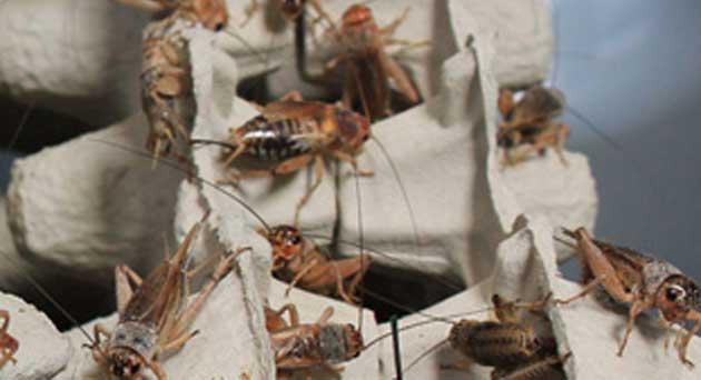 Élevage d'insectes comestibles: qui sont les leaders du secteur?