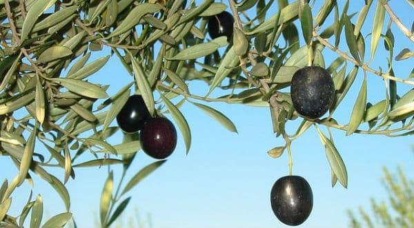 Huile d'olive: Les oliveraies d'Europe en panne de production