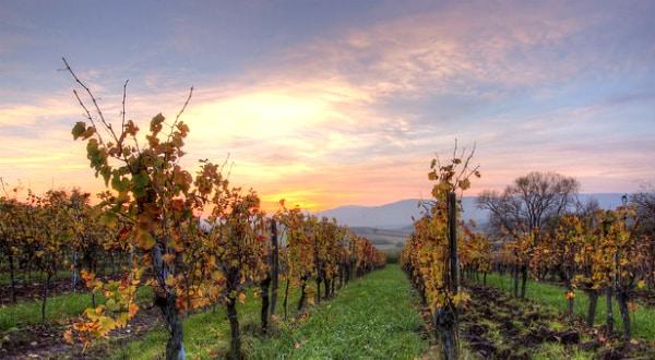 Viticulture: le vigneron qui s'opposait aux pesticides relaxé en appel