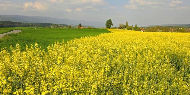 Syngenta booste le développement des hybrides de céréales et de colza à Chartres