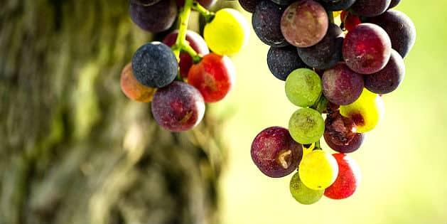 Israël veut devenir une patrie du vin