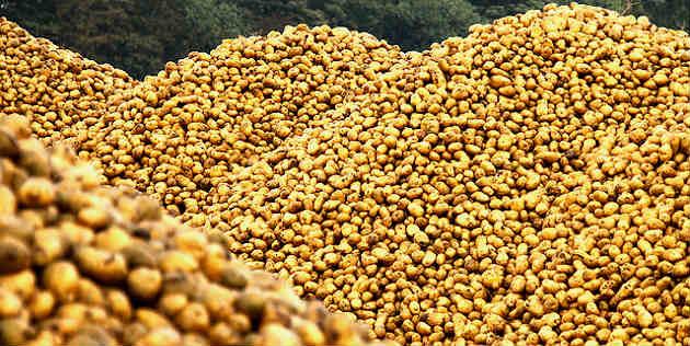 Des agriculteurs nordistes en colère rachètent leurs pommes de terre à Auchan