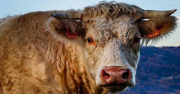 L'ultimatum posé par les éleveurs bovins aux acteurs de la filière touche à sa fin