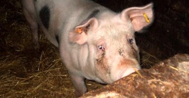 Le marché du porc a repris sa cotation