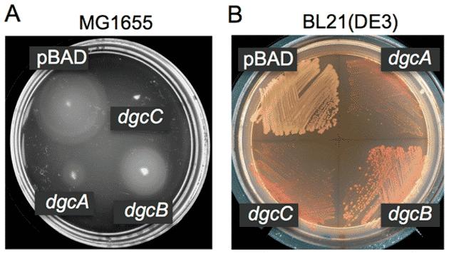 Hygiène: une couche protège certaines souches de Listeria
