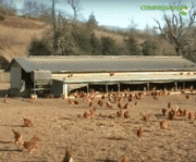 Carrefour s'engage à ne plus vendre des œufs de poules élevées en cages!